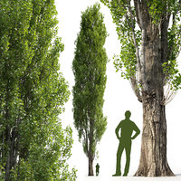 Poplar Populus V1
