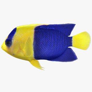 3D bicolor angelfish