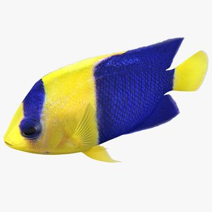 bicolor angelfish rigged 3D model