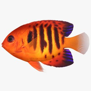 flame angelfish 3D model