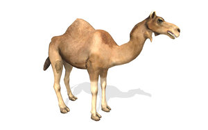 3D dromedary camel rigged animal model