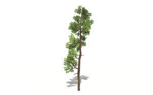 3D realistic cedar tree