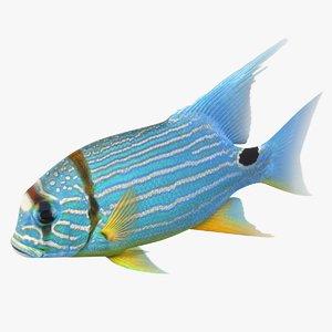 blue yellow striped fish model