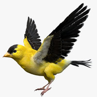 Gold Finch Fur Animation Rigged