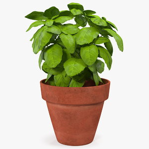3D fresh basil herb pot model