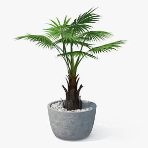 washingtonia robusta pot plant 3D model
