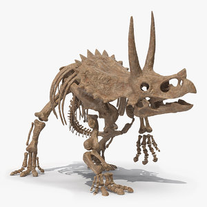 3D triceratops skeleton fossil rigged