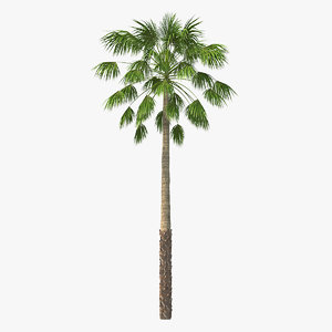 3D mexican palm tree