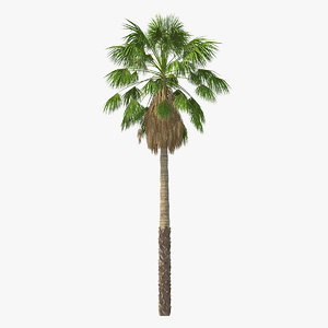 mexican washingtonia palm tree model