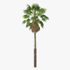 mexican washingtonia palm tree model