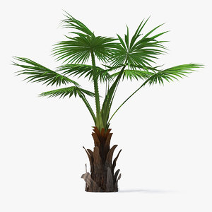 mexican fan palm 3D model