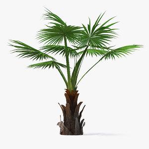 mexican fan palm 3D model