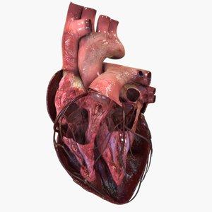 3D anatomy human heart model