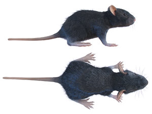 animal rat mouse model