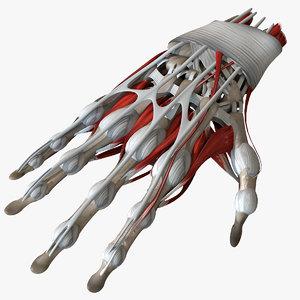 human hand anatomy bones 3D model