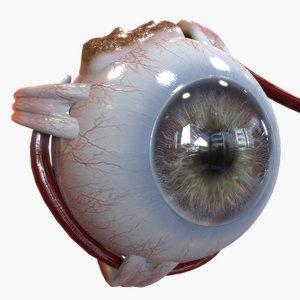 anatomy human eye model