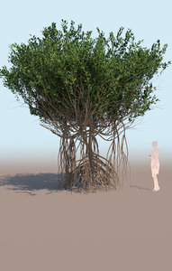 3D mangrove tree rhizophora mangle