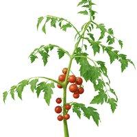 Low Poly Tomato Plant