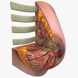 3D female breast model