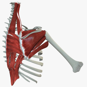 3D model scapular muscle