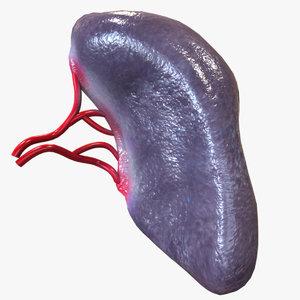 human spleen 3D model
