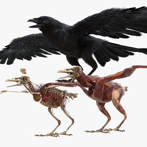 3D model rigging crow anatomy