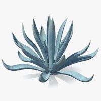 Agave Tequilana Blue Agave Plant
