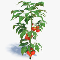 Tomato Plant with Fruits and Flowers