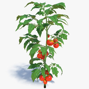 tomato plant fruits flowers red 3D model