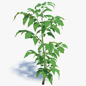 3D young tomato plant