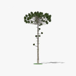 araucaria tree nature 3D model