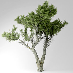 monterey cypress tree 3D