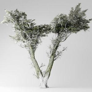 3D model monterey cypress tree