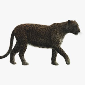 3D rigged modeled leopard model