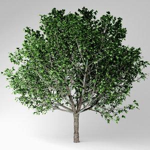 3D model bradford pear tree
