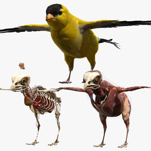 rigging goldfinch fur anatomy 3D