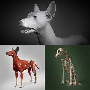 3D mexican hairless dog anatomy