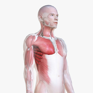male body skeleton muscles 3D model