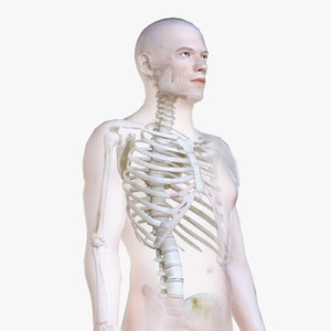 3D male body skeleton polys model