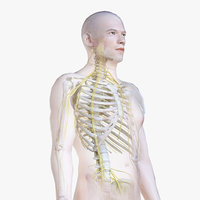 Male Body, Skeleton and Nervous System (Low Poly)