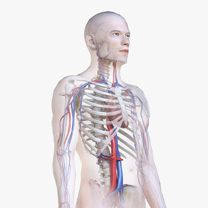 3D male body skeleton vascular