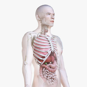 male body skeleton organs 3D model