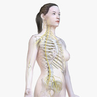 Female Body, Skeleton and Nervous System (Low Poly)
