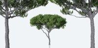 Maritime Pine Trees