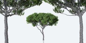 maritime pine trees pinus 3D model