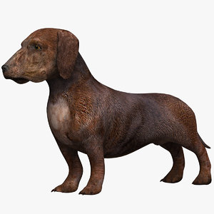 lw dachshund dog