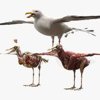 Seagull Fur Anatomy