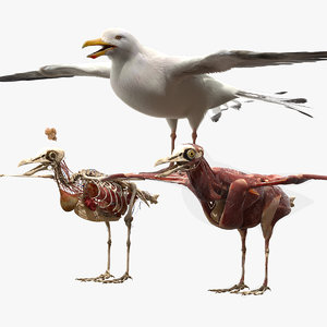 seagull anatomy skeleton 3D model