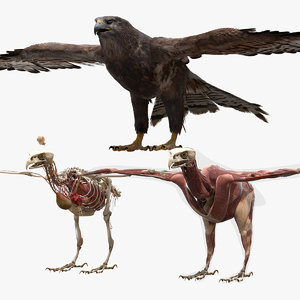 3D hawk anatomy skeleton model