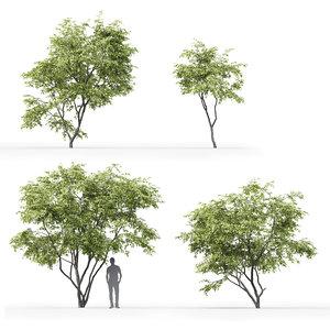 3D model trees acer ginnala 1